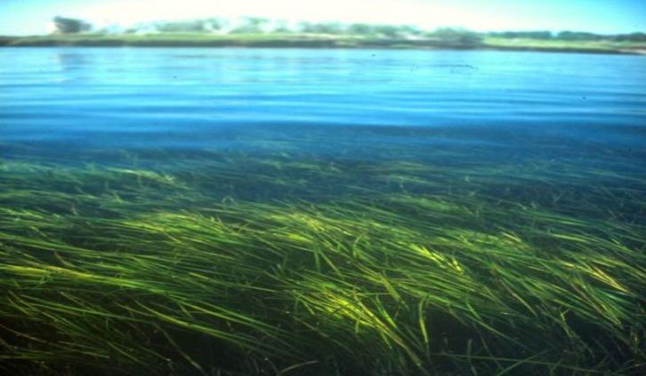 Submerged aquatic vegetation